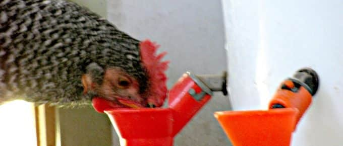 Best-Chicken-Feeders-and-Waterers